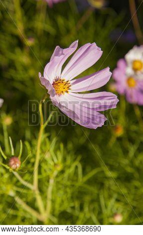 Beautiful Pink Cosmos Bipinnatus Or Garden Cosmos Or Mexican Aster In A Garden.