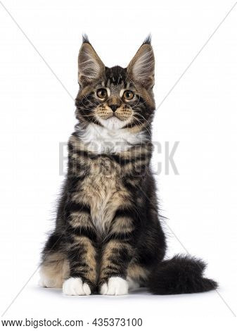Cute Black Tabby Maine Coon Cat Kitten, Sitting Up Facing Front. Looking Towards Camera. Isolated On