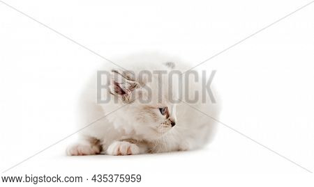 Adorable fluffy ragdoll kitten with beautiful blue eyes isolated on white background. Cute purebred fluffy kitty cat lying and looking back. Lovely little feline pet
