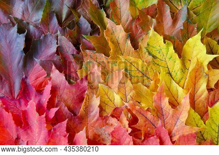 Selective Focus On Texture Of Red, Orange, Yellow, Green Leaves. Autumn Multicolored Maple Leaves Ba