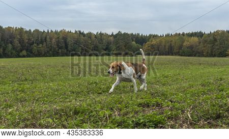 Beagle Dog Outdoor Active Playing On The Lawn Grass. Hunting Dog Of Breed Of Beagle On A Natural Aut
