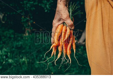 Carrots Harvest In Very Old Womans Hand. Bundle Of Fresh Carrots In Farmers Hands. Ecological Cultiv