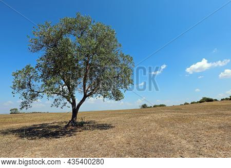 Isolated Olive Tree That Produces Olives For An Excellent Olive Oil In The Arid Sunny Countryside Du