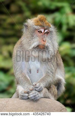 Balinese long-tailed monkey (Macaca fascicularis), Ubud, Bali, Indonesia