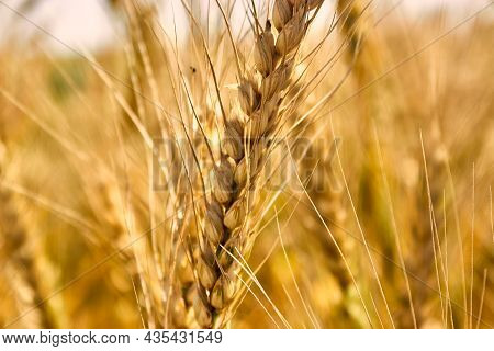 A Ripe Golden Ear Of Wheat In Close-up Against The Background Of A Golden Field. The Theme Of Agricu