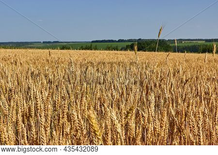 The Golden Field Of Wheat Is Maturing. Spikelets Of Wheat, A Distant Green Meadow. The Theme Of Agri