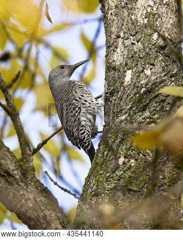 A Pretty Northern Flicker Is Perched On A Tree With Yellow Leaves In Hauser, Idaho.
