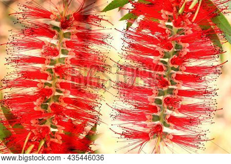 Red Tropical Background With A Flowers Of Callistemon Viminalis, Colorful Blooming Of Exotic Plant