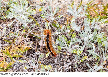 Cape Lappet Moth Caterpillar On Coastal Flora