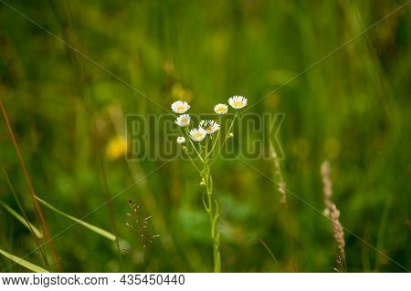 Blooming Flowers Of Meadow Flowers In The Meadow. There Are Various Insects On The Flowers - Butterf