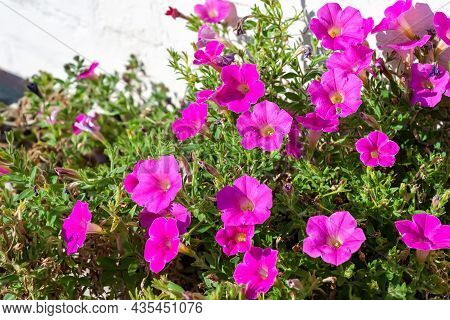 Purple Flowers. Ipomoea Purple Flowers. Close-up Of A Flower Garden Near A City House. Morning Glory