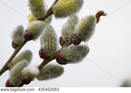 Fluffy Flowers Bloom On A Willow Branch. Yellow Flowers Of A Willow On A Branch In The Spring Forest