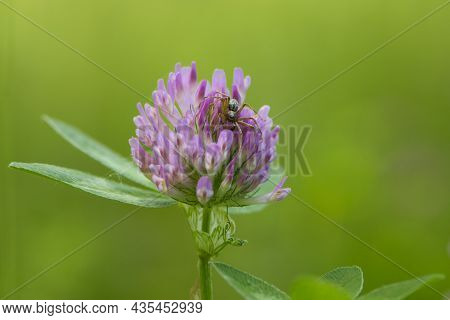 Spider On Red Clover, Trifolium Pratense, In A Typical Meadow Environment. Delicate Flower, On A Lig