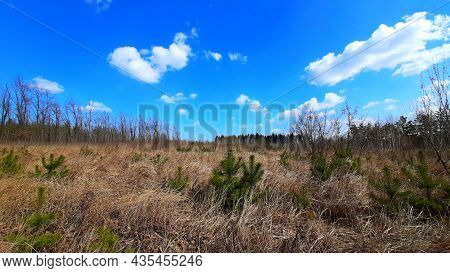 Nature, A Field With Dry Grass, Conifers, Small Christmas Trees. Clear Blue Sky. Landscape, Travel,