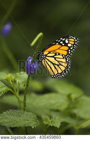 The Monarch Butterfly (danaus Plexippus) In Zoo.