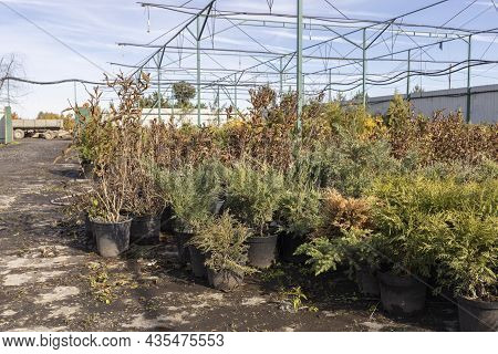 Flowering Bushes In A Tub In A Garden Center For Landscaping, To Work With Landscaping. Plants In Th