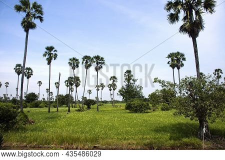 Toddy Palm Tree Or Sugar Palm Plant Garden Park With Paddy Rice Field Of Pathumthani City For Thai P