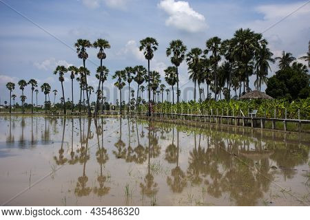 Toddy Palm Tree Or Sugar Palm Plant Reflection On Water In Paddy Rice Field Of Pathumthani Garden Pa