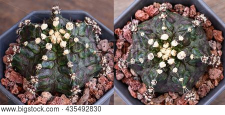 Dinosaur Is Name Of Gymnocalycium Mihanovichii Is A Type Of Cactus Or Succulents Tree That Is Bred F