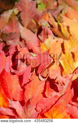 Selective Focus On Texture Of Red, Orange, Burgundy Leaves. Autumn Multicolored Maple Leaves Backgro