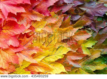 Autumn Multicolored Maple Leaves Background. Fallen Autumn Leaves With Copy Space. Color Gradient Su