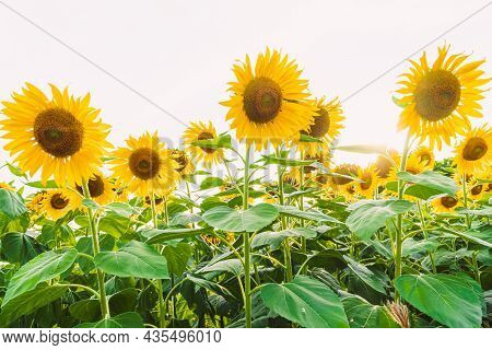 Beautiful Landscape With Sunflower Field Over Cloudy Blue Sky And Bright Sun Lights, Sunflowers Clos