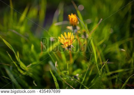 Dandelion Flowers In The Golden Sun Light Close Up | Beautiful Bright Yellow Flower In The Grass Ill