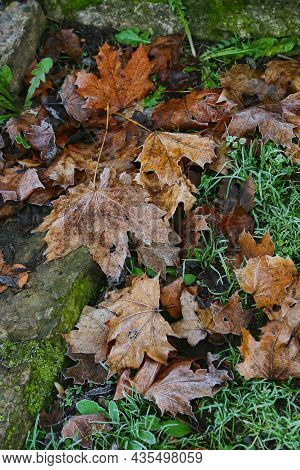 Fallen Wet Brown Leaves Of Maple Tree And Green Dandelion Leaves On The Grass Covered With Frost And