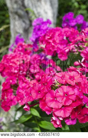 Multicolor Clusters Of Phloxes Bouquet , Phlox In Garden Bloom