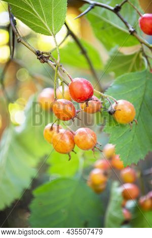 Orange Berries And Leaves On Thorny Branches Hawthorn Or Thornapple Crataegus, Singleseed Hawthorn.