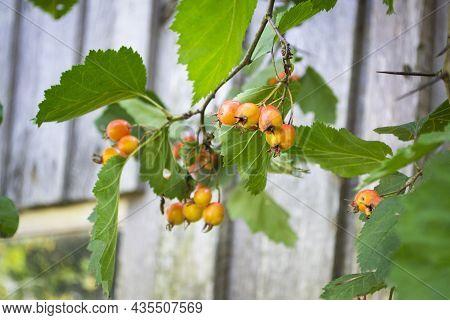 Orange Fruit Of Crataegus Monogyna, On Branch, Known As Hawthorn