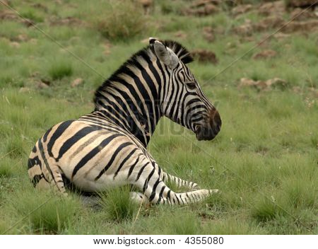 Snoozy Zebra