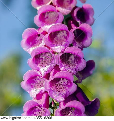 Foxglove Purple Is A Flowering Plant Close-up From Below Against The Sky. A Brush Of Open Foxglove F