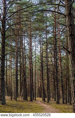 Vertical Photo Of Small Pathway Covered With Pine Corns Leads To Forest Between High Pine Tree Trunk