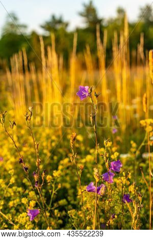 Close Up Vertical Photo Of Field Of Flowers At Summer Evening. Purple Wild Bellflowers And Grass In