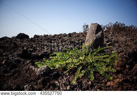 View Of Capers Plant On The Lava Rocks, Sicily