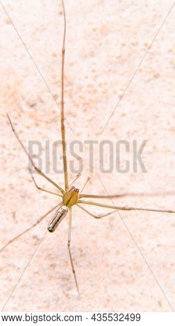 Vertical Shot Of The Top View Of An Orange Spider With Long, Thin Legs Seen During Daytime Under Bri