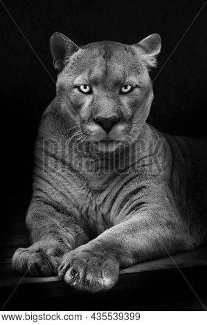 Dangerous And Enchanting Look Of Green Eyes Of A Cougar Noir Black And White Full Face Lying, Black