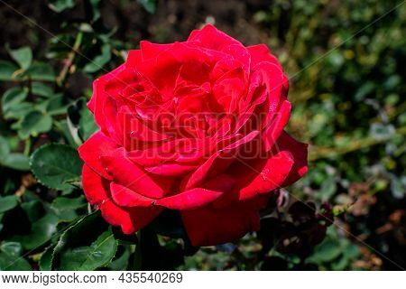 One Large And Delicate Vivid Red Rose In Full Bloom In A Summer Garden, In Direct Sunlight, With Blu