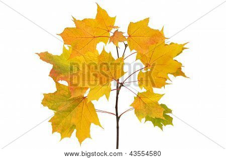 Maple branch with bright yellow leaves isolated on white background poster