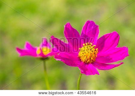 Bright Pink Flower On Green Grass Background