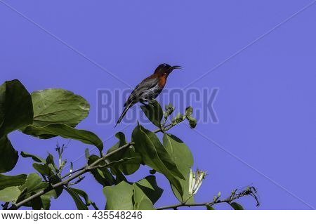 Male Vigors's Sunbird Sitting On A Branch Of Tree From Hersul,maharashtra,india