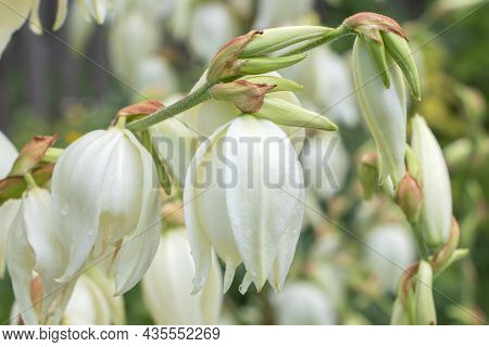 White Yucca Filamentosa Bush Flowers, Other Names Include Adams Needle, Common Yucca, Spanish Bayone