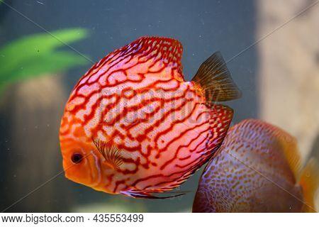View Of Discus Fish Swimming In The Planted Aquarium. Tropical Fish.