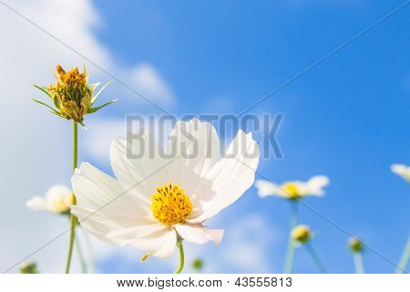 Bright White Flower On Blue Sy Bacground