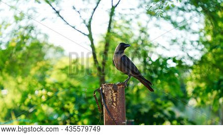 Crow On A Poll. Crow, The Most Intelligent Bird, Perched On A Garden.