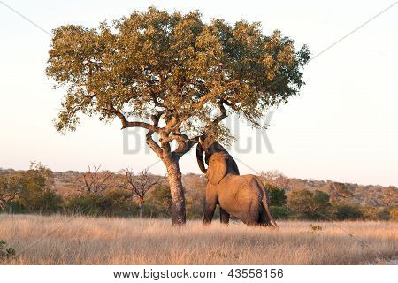 Elephant Push Marula Tree