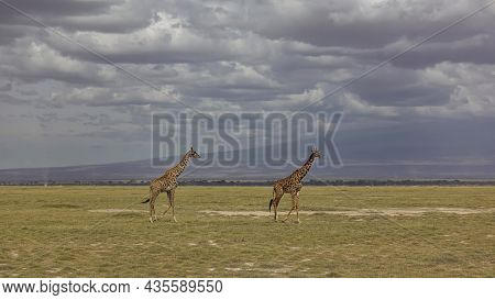Two Graceful Giraffes Are Walking On The African Savannah. Long Necks Against A Cloudy Sky. There Is
