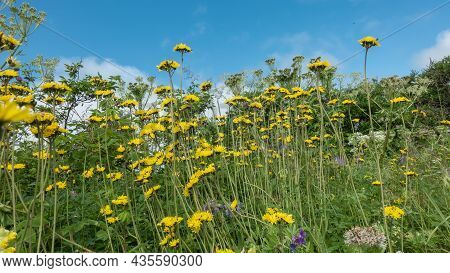 A Meadow With Bright Wildflowers On A Blue Sky Background. Yellow Inflorescences, Long Stems. A Sunn