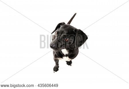Small Black Dog Portrait, Mixed Breed Canine Looking Up With Attention Isolated White Background